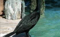 cormorant - Isla Holbox, Yucatán, Mexico