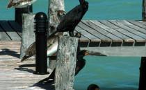 Kormorane auf der Isla Holbox, Yucatán, Mexiko