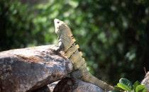 Ein Lizard wärmt sich in der Sonne von Uxmal, Mexiko