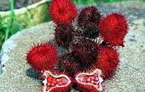 Achiote Früchte
