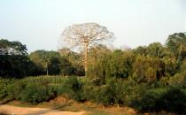 Ceiba Baum am Mopán Fluss - San Ignacio, Belize