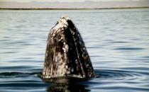 """Grauwal beim """"Spyhopping"""" in der Laguna San Ignacio, Mexiko"""