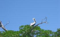 Pelikan in Sian Ka'an, von ramonbaile [CC BY-SA 2.0