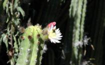 Kakteengarten, Quinta Schmoll bei Bernal, Mexiko