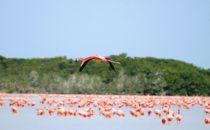 Flamingos in Celestún, Yucatán, Mexiko
