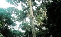 Baumriese im Nebelwald