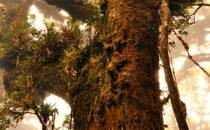 Eiche, © Mount Totumas, Panama