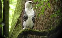 Harpyie, © Mount Totumas, Panama