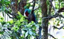 Quetzal, Mirador de Quetzales, Costa Rica