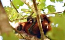 spider monkey, Corcovado NP, © K&T Ledermann