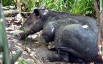 Tapir, Corcovado NP, © K&T Ledermann