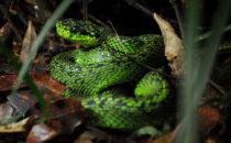 Palm Viper, © Mount Totumas, Panama