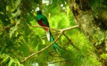 männlicher Quetzal, © Mount Totumas, Panama