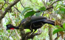 Schakuhuhn © Mount Totumas, Panama