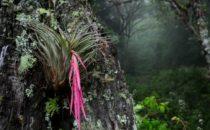 Bromelie, © Mount Totumas, Panama