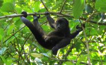 junger, weiblicher Brüllaffe, © Mount Totumas, Panama