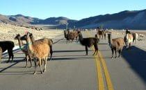 Begegnung mit Lamas in der Cordillera Central, Bolivien © Bertram Roth
