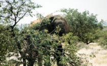 Wüstenelefant, Namibia