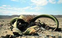 Welwitschie, Namibia
