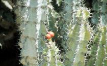 Wüsteneuphorbie Detail (Euphorbia Virosa), Namibia