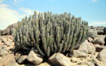Wüsteneuphorbie (Euphorbia Virosa), Namibia