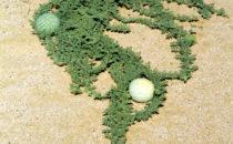 Tsamma (-melone) (Citrullus lanatus), Namibia