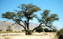 Ana tree im Ugab Flussbett (faidherbia albida), Namibia
