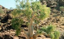 Namibia Flora