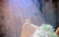 Steinbock bei Spitzkoppe, Namibia