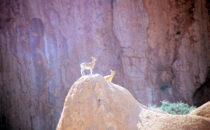 Steinböcke bei Spitzkoppe, Namibia