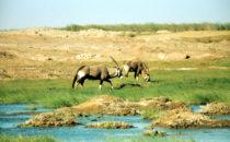 Oryxantilopen im Uniab Delta, Namibia