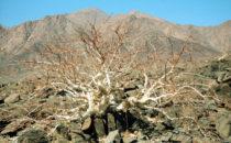 Dornenbaum Namibia