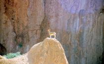 Steinbock bei Spitzkoppe