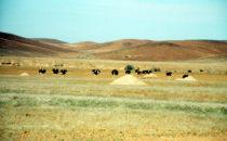 Straußenherde, Namibia