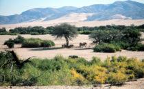 Wüstenelefanten, Namibia