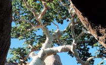 Namibia, Baum