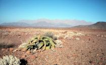Welwitschie