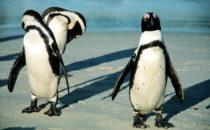 Pinguine am Boulders Beach bei Simon's Town, Südafrika