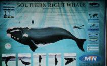 Wissenswertes über den Südlichen Glattwal (Südkaper)
