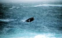 Wale vor der Robberg Nature Reserve, Südafrika