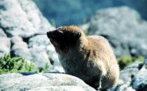 Kapstadt - Klippschliefer auf dem Tafelberg, Südafrika