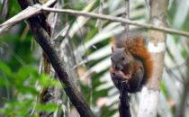 Rotschwanzhörnchen - Gamboa,© K&T Ledermann, Panama