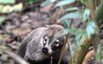 Nasenbär - Gamboa, © K&T Ledermann, Panama