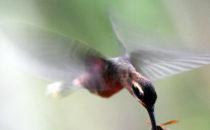 Kolibri - Gamboa, © K&T Ledermann, Panama