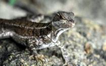 Lizard, © K&T Ledermann, Panama