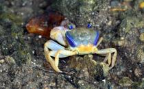 crab, Bocas del Toro, © K&T Ledermann, Panama