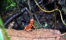 red poison dart frog, Bocas del Toro, © K&T Ledermann, Panama