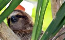 sloth, Bocas del Toro, © K&T Ledermann, Panama
