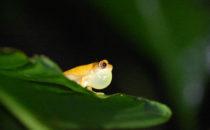 schrecklicher Pfeilgiftfrosch, Gandoca – Manzanillo, Costa Rica