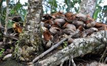 Kokosnüsse bei Puerto Viejo, Costa Rica